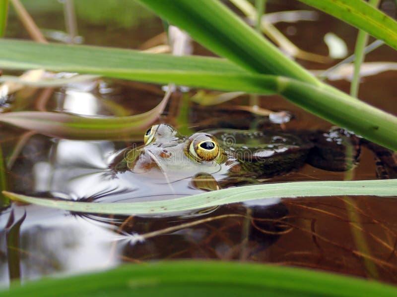 Конец-вверх лягушки воды пряча за травами в воде стоковые фотографии rf