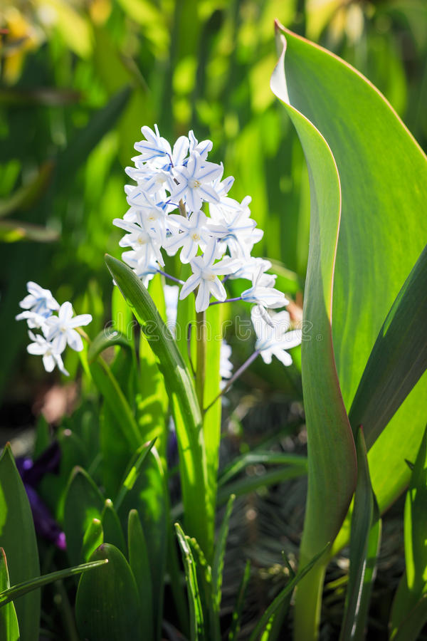 Конец-вверх макроса белых и голубых цветков стоковое изображение rf