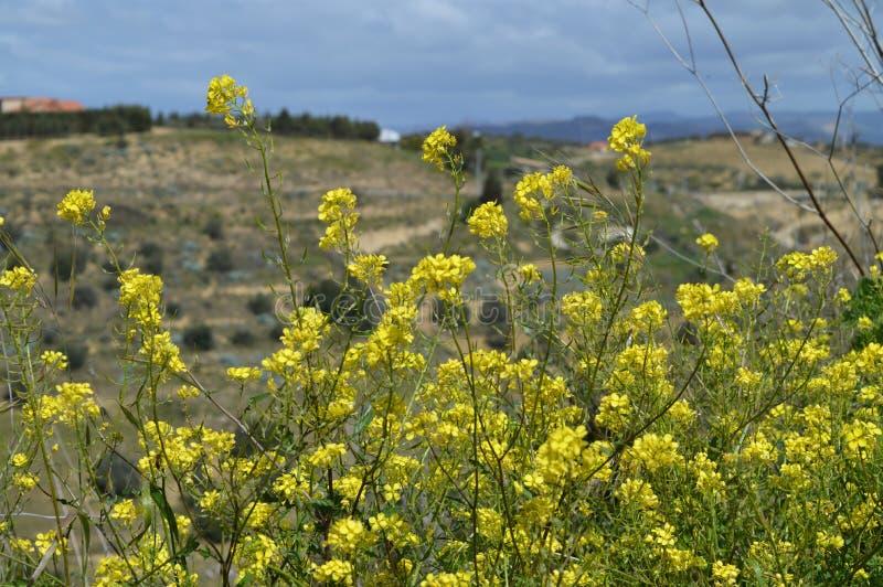 Конец-вверх мустарда Charlock в цветени, Arvensis Sinapis, сицилийском ландшафте, природе стоковые фотографии rf