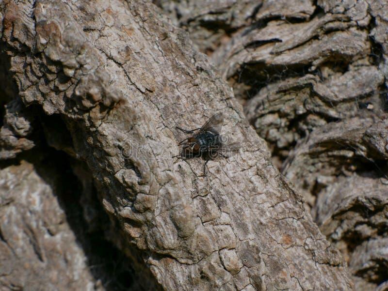Конец вверх/муха/насекомое Bluebottle макроса на расшиве дерева конского каштана стоковые изображения rf