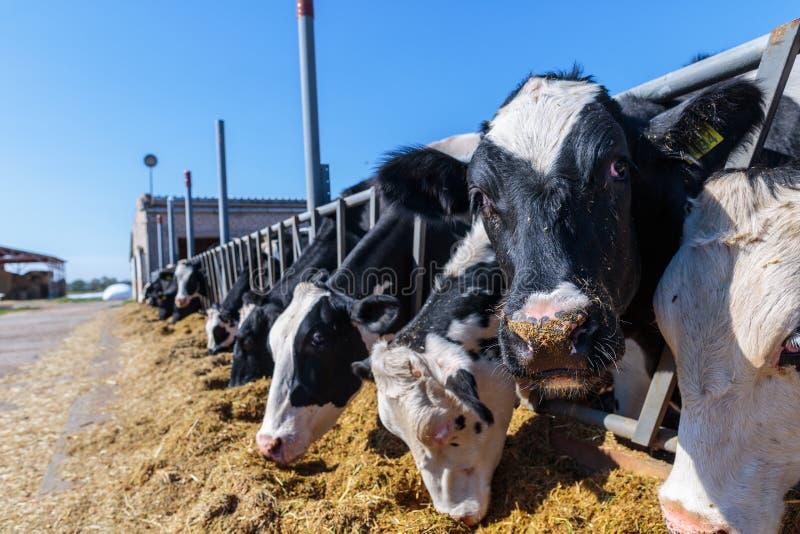 конец-вверх намордника животный, порода комолых молочных коров есть силосохранилище стоковое фото rf