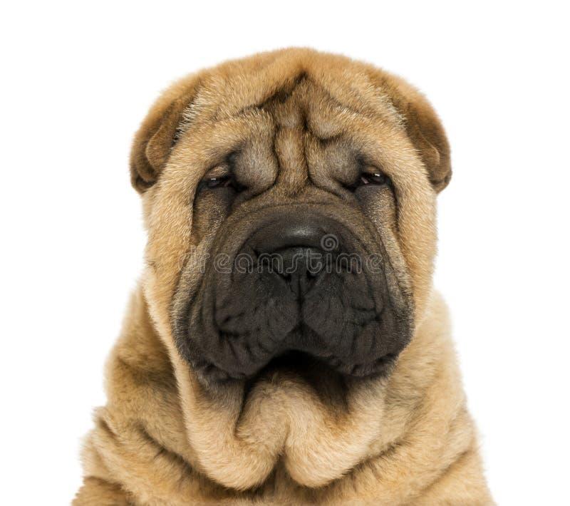 Конец-вверх на смотреть на головку щенка Sharpei стоковая фотография rf