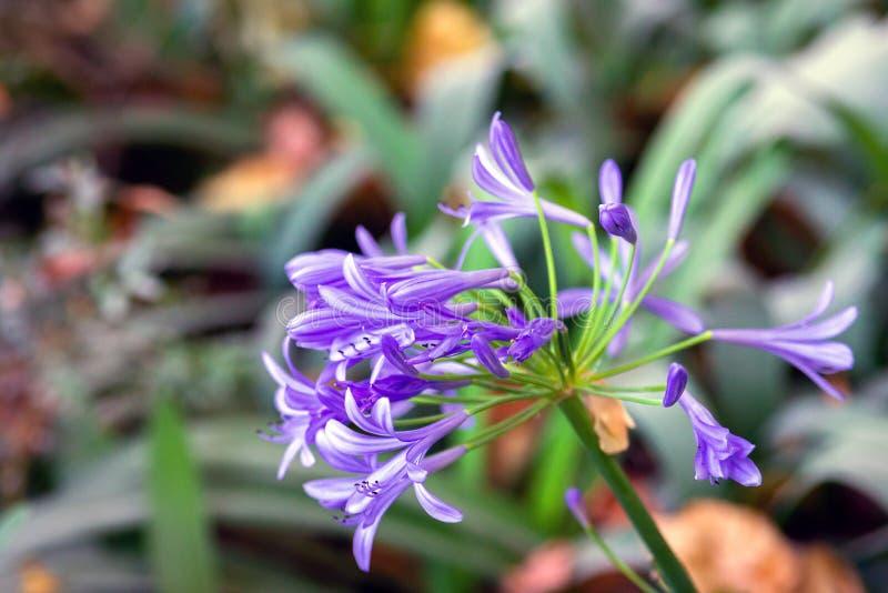 Конец-вверх на цветке свежего Agapanthus пурпурном r стоковые фото