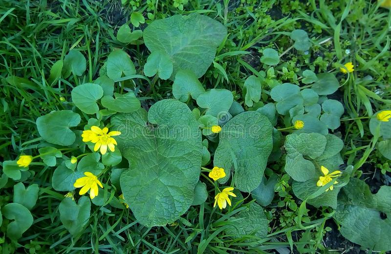 Конец-вверх небольших желтых цветков с большими зелеными листьями стоковое фото