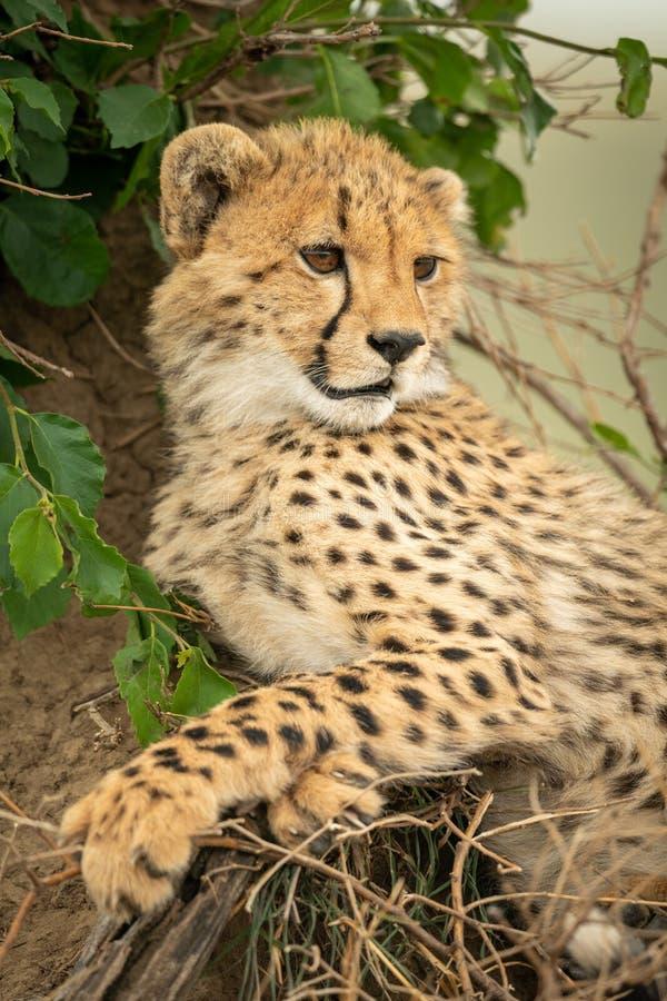 Конец-вверх новичка гепарда полагаясь против насыпи стоковая фотография rf