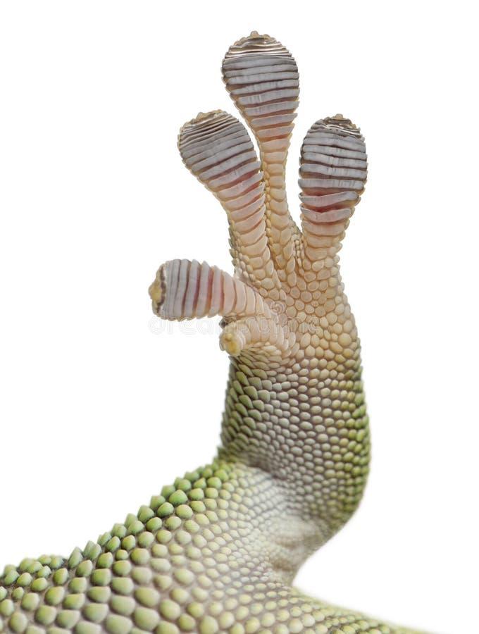 Конец-вверх ноги гекконовых дня Мадагаскара, grandis madagascariensis Phelsuma, 1 - летних стоковое фото rf