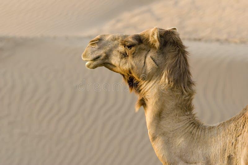 Конец-вверх ОАЭ Дубай верблюды возглавляет в пустыне вне Дубай стоковые изображения rf