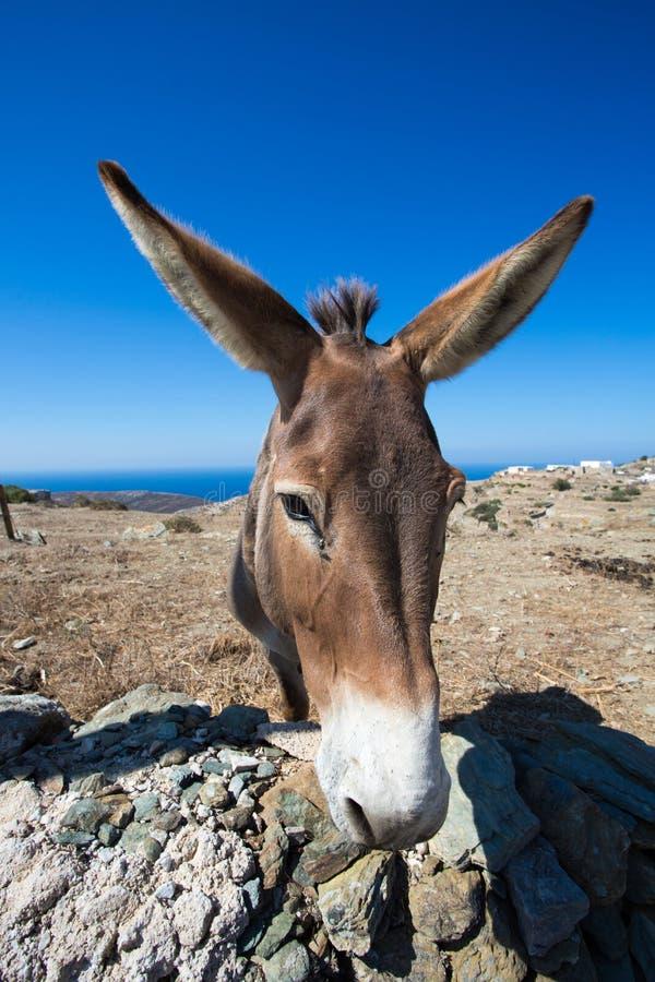Конец-вверх от осла в сухом ландшафте Folegandros стоковое изображение rf