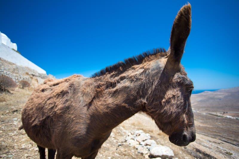 Конец-вверх от осляка в сухом ландшафте Folegandros стоковые изображения