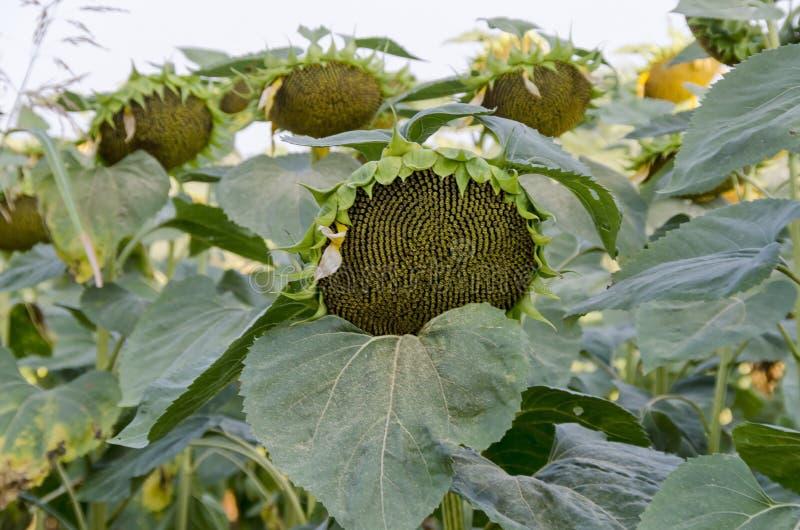 Конец-вверх одной головы солнцецвета или annuus подсолнечника при семена растя в поле солнцецвета стоковые фотографии rf