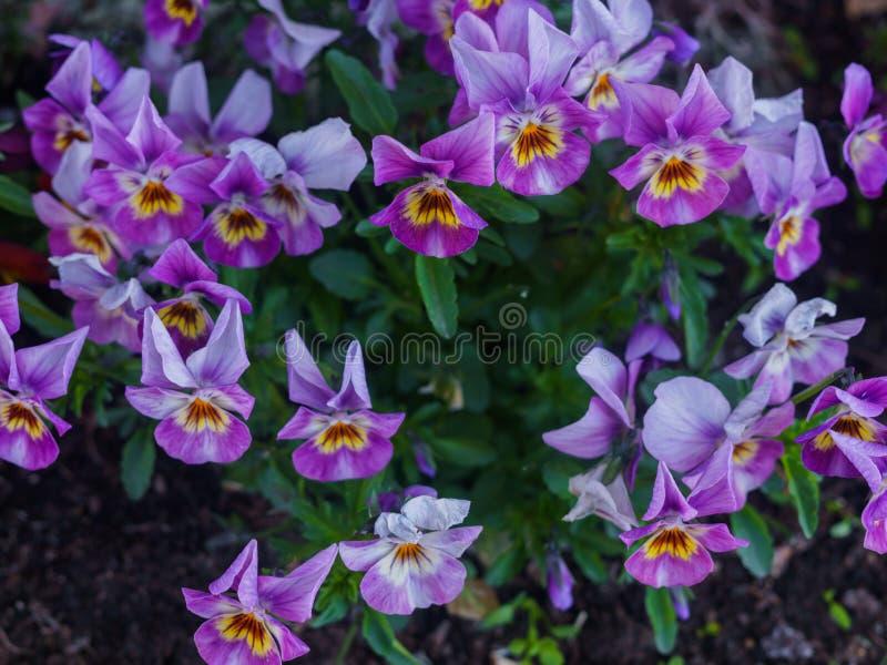 Конец-вверх пестротканого света - пурпурных цветков pansies стоковые изображения