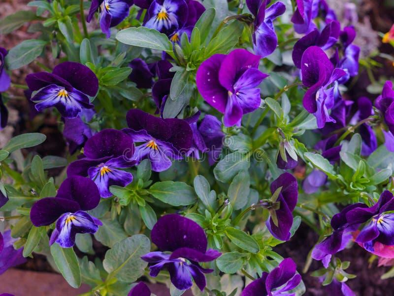 Конец-вверх пестротканых темных пурпурных цветков pansies стоковое изображение
