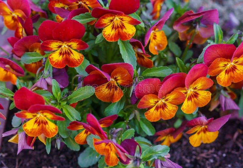 Конец-вверх пестротканых цветков красно-апельсина pansies стоковое изображение