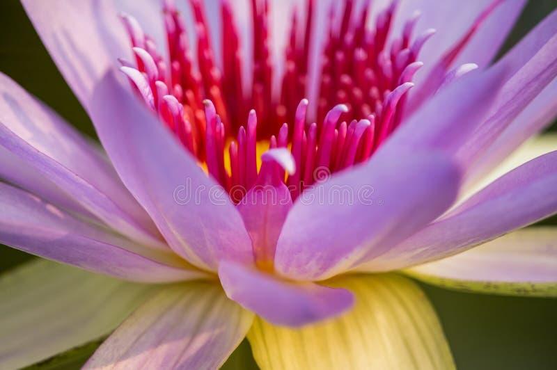 Конец-вверх пинка лотоса наблюдая сверкная предпосылку bokeh цветов стоковое изображение