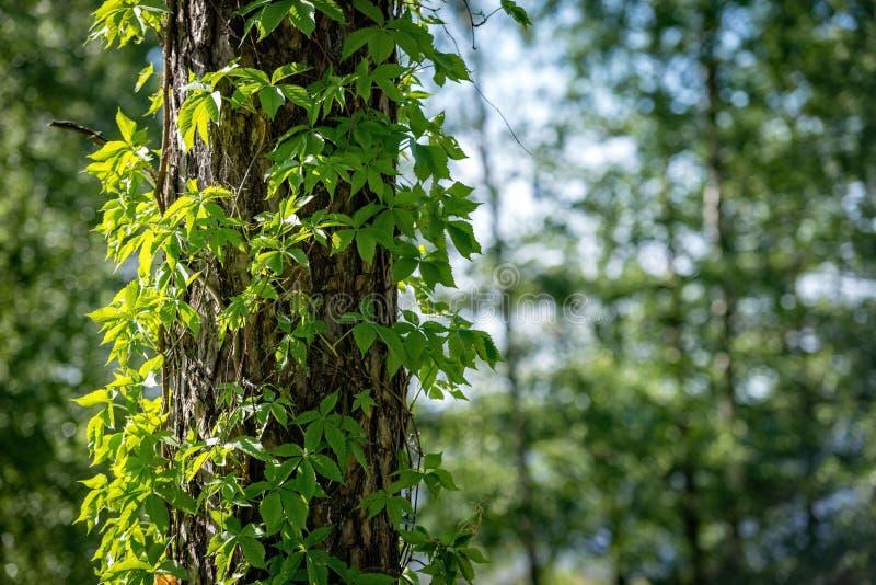 Конец-вверх плюща на стволах дерева стоковые фото