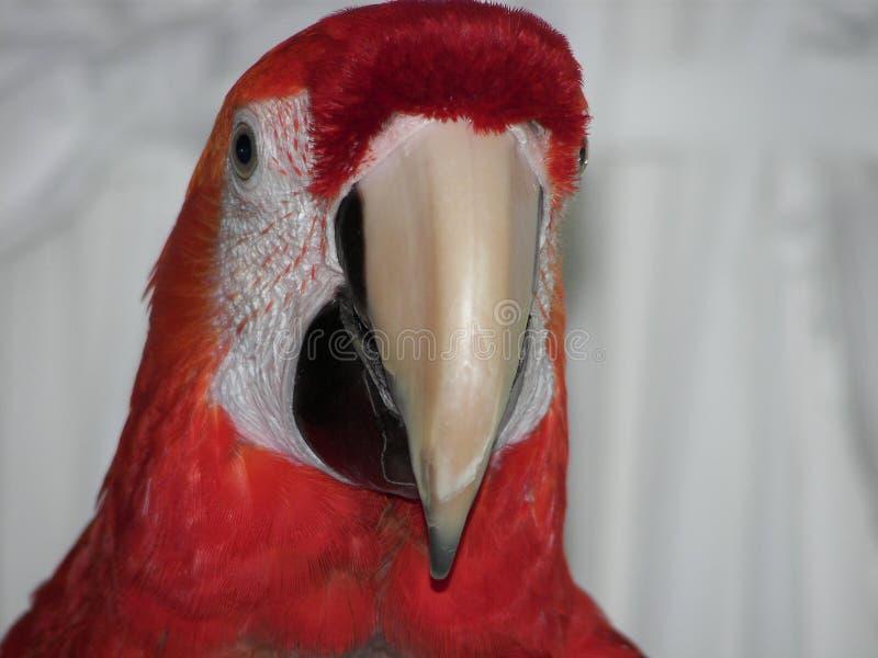 Конец-вверх попугая главный стоковая фотография