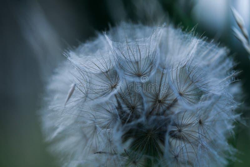 Конец вверх по абстрактному букету семян одуванчика Dandy естественный расти цветков вне Картина изолированная макросом Силуэт па стоковые изображения rf