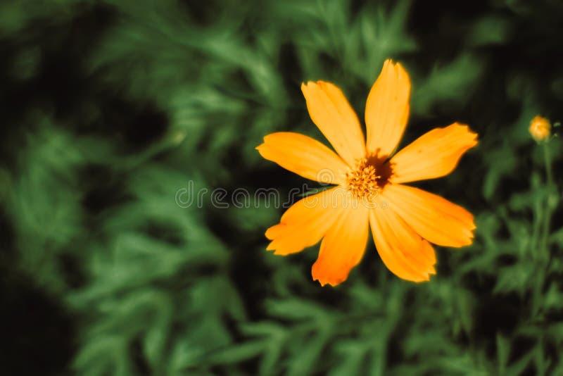 Конец вверх по астре цветков корабля звезды мексиканской со светом солнца утра в обоях сада естественных Красивые желтые обои цве стоковые изображения