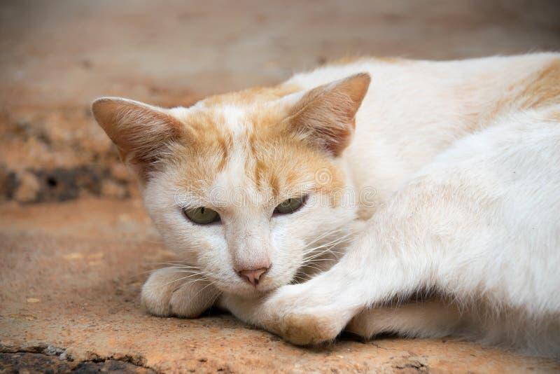 Конец вверх по белому тайскому коту спит на поле стоковые изображения rf