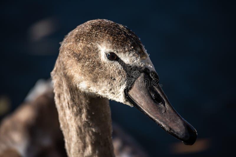 Конец вверх по весне природы молодого портрета лебедя серой стоковое фото rf