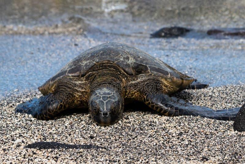 Конец вверх по зеленой морской черепахи на пляже закрытые глаза Рядом с черным утесом Вода в предпосылке стоковое изображение