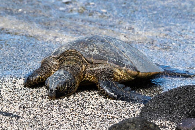 Конец вверх по зеленой морской черепахи на пляже закрытые глаза Рядом с черным утесом Вода в предпосылке стоковые изображения rf