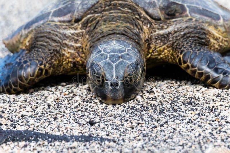Конец вверх по зеленой морской черепахи на пляже Кладущ на песок, глаза закрыли стоковая фотография