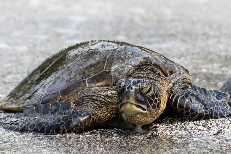 Конец вверх по зеленой морской черепахи на пляже Мухы на раковине Смотреть на камеру, пена под подбородком стоковое фото