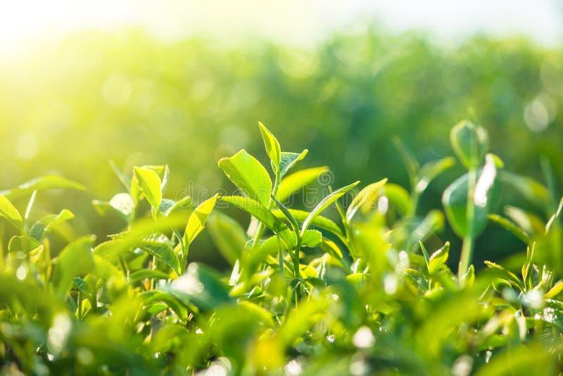 Конец вверх по зеленому чаю выходит рост на плантацию чая в утреннее время стоковое изображение