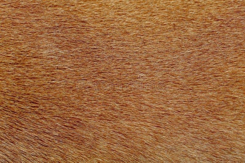конец вверх по коричневой коже собаки для текстуры и картины стоковые фотографии rf