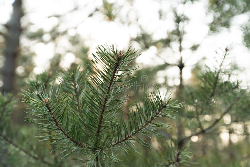Конец вверх по медленной двигая съемке игл сосны - зеленому лесу прибалтийской страны Латвии стоковое фото