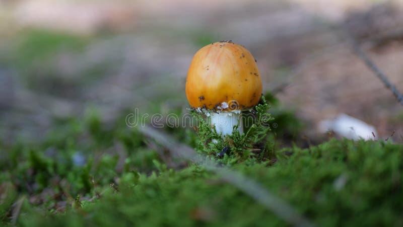 Конец вверх по небольшому оранжевому грибу изолированному с расплывчатой предпосылкой стоковые фото