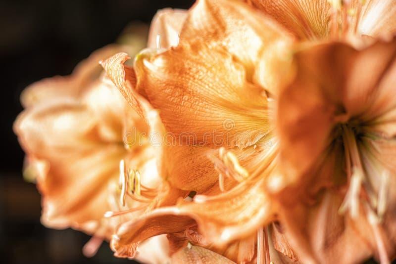 Конец вверх по оранжевому цветку лилии стоковые фото