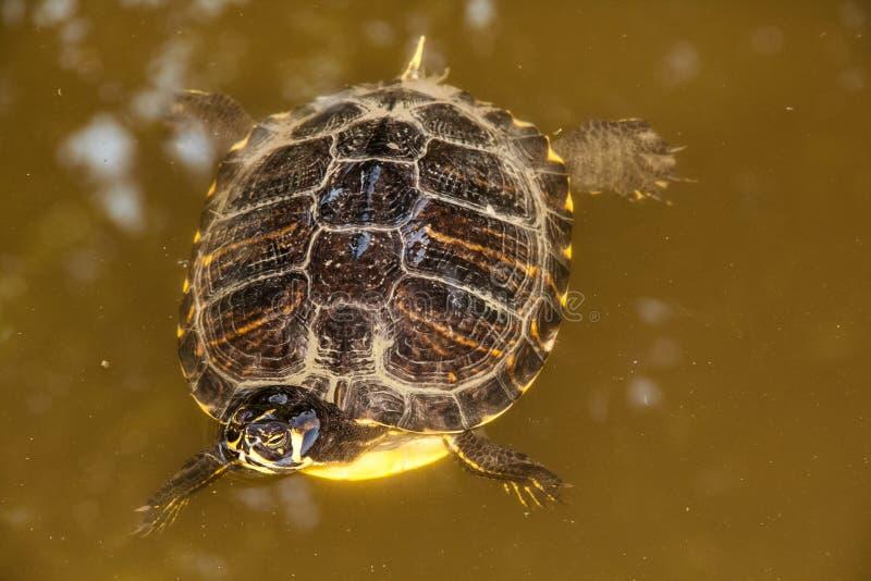 Конец вверх по плаванию черепахи в озере стоковая фотография