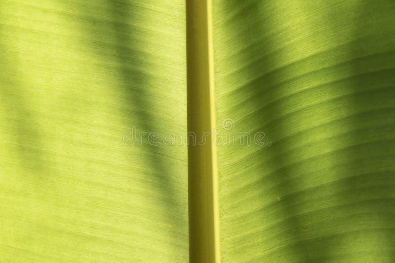 Конец вверх по разрешению зеленого цвета банана Предпосылка и текстура стоковое фото rf