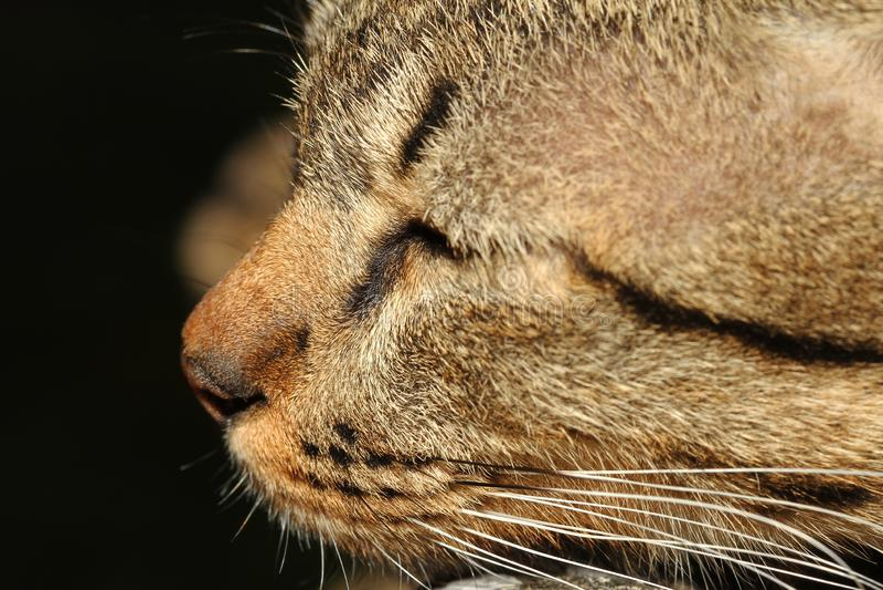 Конец вверх по серому сну кота стоковое изображение