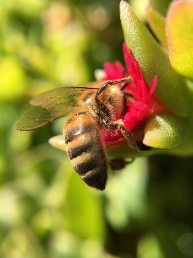 Конец вверх по съемке пчелы меда стоковые фото