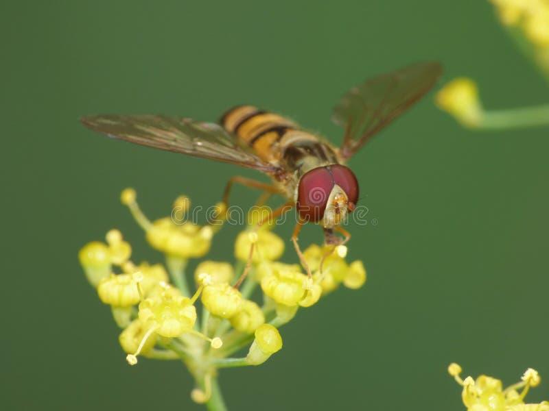 Конец вверх по съемке hoverfly собирая цветня от сада, фото макроса принятое в Великобританию стоковое фото