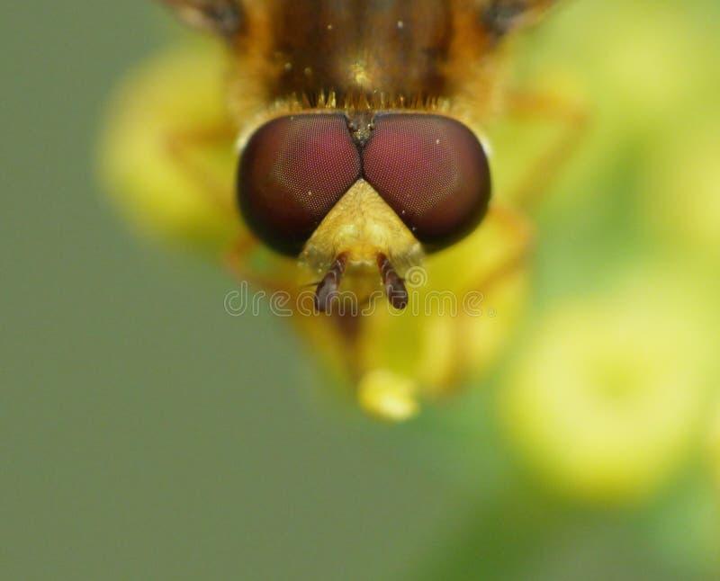 Конец вверх по съемке hoverfly собирая цветня от сада, фото макроса принятое в Великобританию стоковое изображение rf