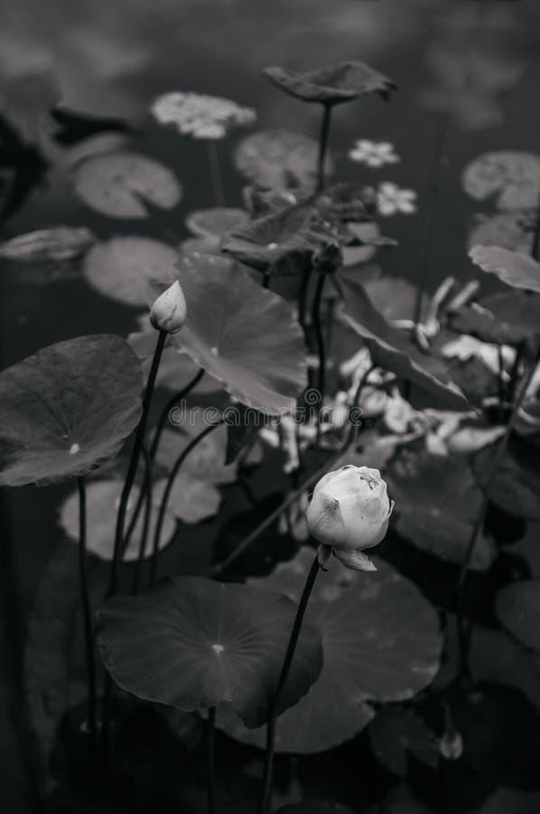 Конец вверх по тайской лилии воды или белому лотосу - черно-белому изображению стоковое фото rf