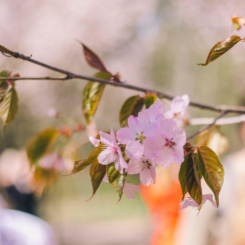 Конец вверх по цветеню Сакуры, вишневому цвету, вишневому дереву на запачканной зеленой предпосылке дерева стоковые фото