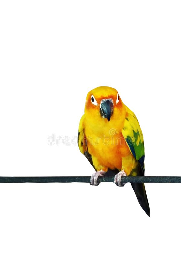 Конец вверх по conure солнца, красочному попугаю на белой предпосылке стоковая фотография