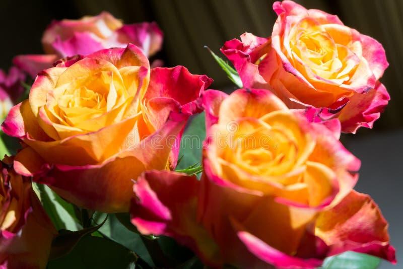 Конец-вверх праздничных свежих роз с первоначально желтым и малиновым колоритом стоковое фото rf