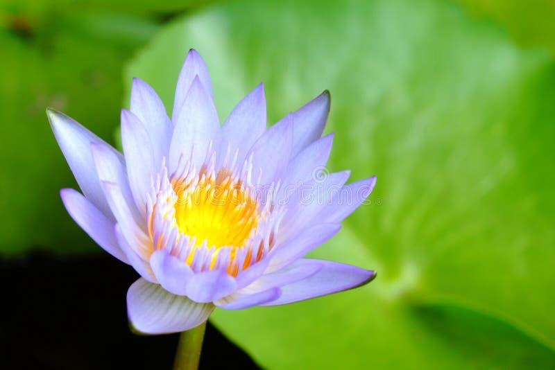 Конец-вверх пурпурный лотос имеет желтый цветень в пруде на зеленом лотосе выходит предпосылка стоковое изображение