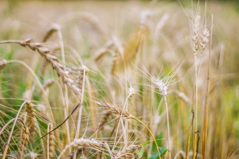 Конец-вверх пшеничного поля, золотые уши, поздним летом, осень стоковое фото
