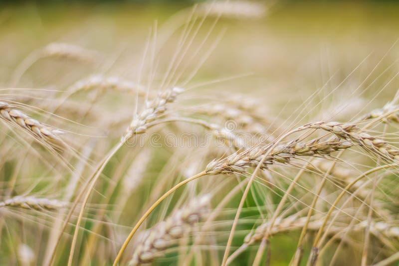 Конец-вверх пшеничного поля, золотые уши, поздним летом, осень стоковое изображение rf