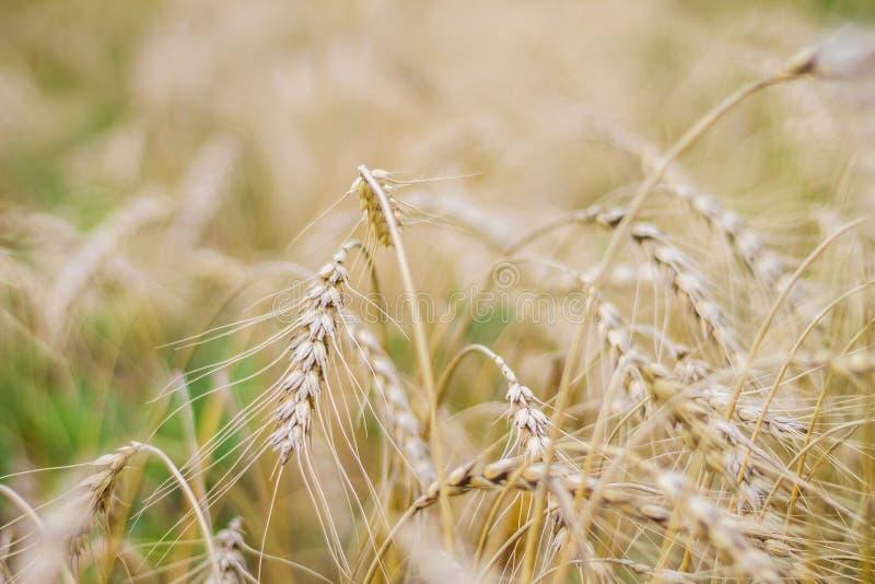 Конец-вверх пшеничного поля, золотые уши, поздним летом, осень стоковые изображения