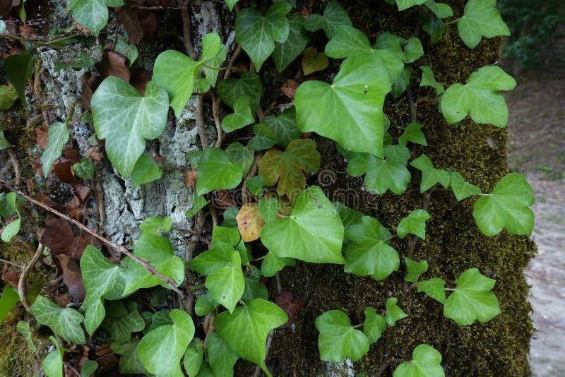Конец-вверх плющ взбираясь на старом дереве стоковые фотографии rf