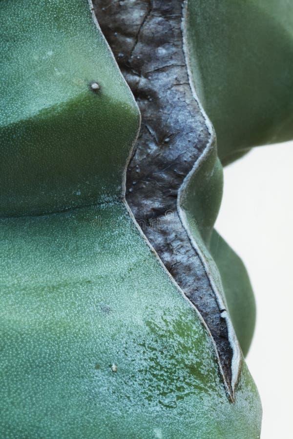 Конец-вверх раздела кактуса стоковые фотографии rf