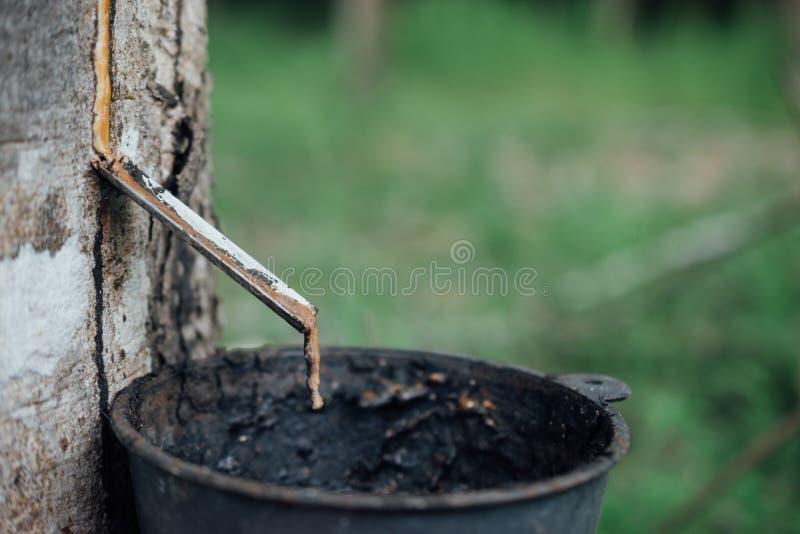 Конец-вверх резинового латекса извлеченного от резинового дерева стоковое изображение rf